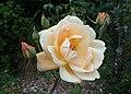 Rosa 'Lady Huntingfield' kz04.jpg