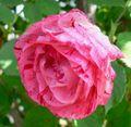 Rosa Peppermint Swirl 1.jpg