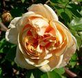 Rosa Reve dOr 2.jpg