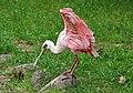 Rosalöffler im Weltvogelpark Walsrode 2H1A8802WI.jpg