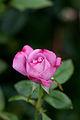 Rose, Blue Liver.jpg
