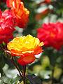 Rose, Charisma, バラ, カリスマ, (15347462339).jpg