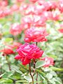 Rose, Love, バラ, ラヴ, (23758430892).jpg