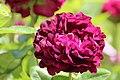 """Rose """"Tuscany Superb"""".JPG"""