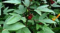 Roselle (Hibiscus sabdariffa) 4.jpg