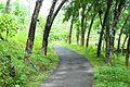 Rubber plantation trees.jpg