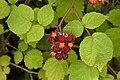 Rubus phoenicolasius D.jpg