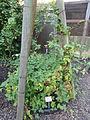 Rubus senticosus - Botanischer Garten, Frankfurt am Main - DSC02452.JPG