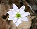 Rue Anemone (Thalictrum thalictroides) along West Overlook Trail - Flickr - Jay Sturner.jpg