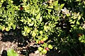 Ruscus aculeatus 1zz.jpg