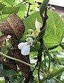 Rwanda Beans Flower.jpg