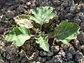 S. melongena-hojas-2.jpg