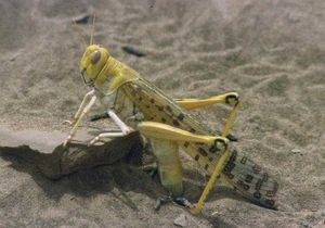 Locust - A desert locust ovipositing in sand