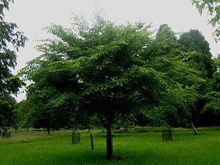 <i>Ulmus davidiana</i> Species of tree