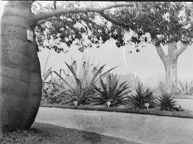 File:SLNSW 51659 Scene in the Botanical Gardens bottle tree on left.jpg