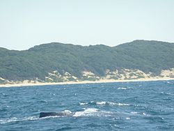 SODWANA BAY Beach (Humpback whale in foreground) - panoramio.jpg