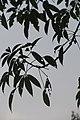SZ 深圳 Shenzhen 蛇口 Shekou Nanshan 四海公園 Sihai Park 美人櫻 Ceiba Speciosa 酒瓶木棉 Floss-silk Tree 美麗異木棉 Sept 2017 IX1 06.jpg