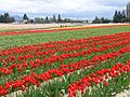 Sakgit Valley Tulip Festival 05.jpg