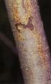 Salix amygdaloides(02).jpg