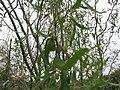 Salix matsudana Tortuosa 1zz.jpg