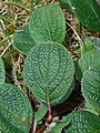 Salix reticulata 2018-06-05 3143.jpg