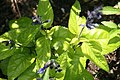 Salvia guaranitica Black and Blue 6zz.jpg