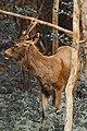 Sambar Deer - Wilpattu National Park.jpg