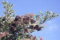 Sambucus peruviana of the Adoxaceae (8429008178).jpg