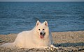 Samoyed on Beach.jpg