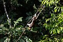 Sandakan Sabah Giant-Squirrel-in-RDC-01.jpg