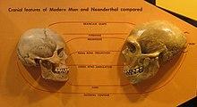 neanderthal anatomy - wikipedia, Skeleton