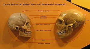 Anatomically modern human - Anatomical comparison of skulls of Homo sapiens (left) and Homo neanderthalensis (right) (in Cleveland Museum of Natural History) Features compared are the braincase shape, forehead, browridge, nasal bone, projection, cheek bone angulation, chin and occipital contour