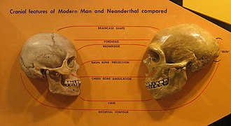 Neanderthal - Anatomical comparison of skulls of Homo sapiens (left) and Homo neanderthalensis (right) (in Cleveland Museum of Natural History) Features compared are the braincase shape, forehead, browridge, nasal bone projection, cheek bone angulation, chin and occipital contour.