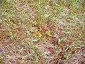 Sarracenia purpurea (5086368333).jpg