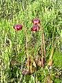 Sarracenia purpurea 11 (5098001476).jpg