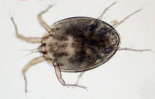Histiostomatidae family of arachnids