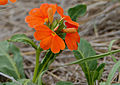 Save Crossandra (Crossandra mucronata) (11515005015).jpg