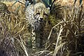 Say hay cheetah.jpg