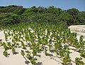 Scaevola plumieria - landscape (6867280041).jpg