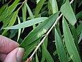 Scale insect damage on Paperbark Bottlebrush (5272625039).jpg