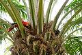 Scarlet macaw (7958408372).jpg