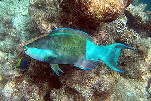 Parrotfish - Scarus frenatus
