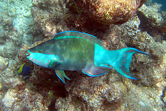 Parrotfish - Scarus frenatus