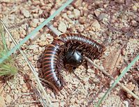 Beetle with millipede prey