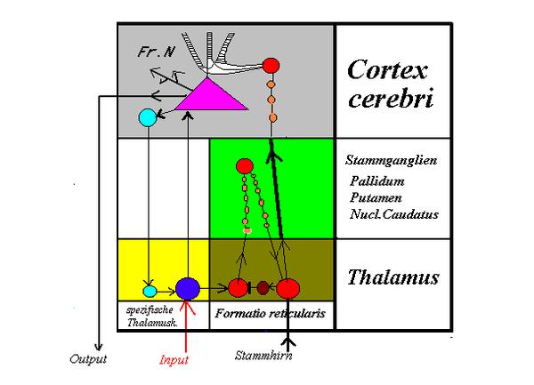 Aufsteigendes retikuläres Aktivierungssystem – Wikipedia