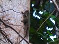 SciurusSpadiceus.PNG