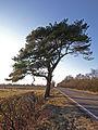 Scots Pine - geograph.org.uk - 1715881.jpg
