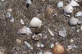 Sea Shells - Deniz kabukları 04.jpg