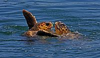 Sea turtles Caretta caretta.jpg