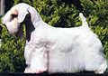 SealyhamTerrier2.jpg